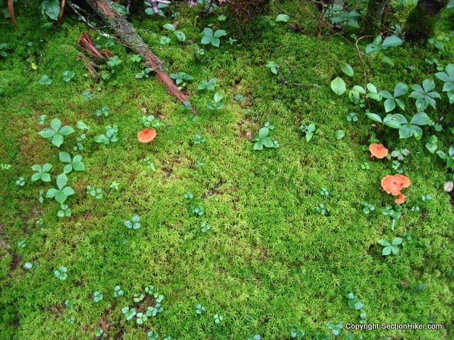 Delicate Sphagnum Moss on the Forest Floor