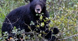 The best way to avoid black bear encounters is to make a lot of noise when hiking and keep a clean camp when sleeping