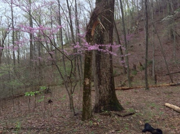 Flowering Redbud Tree