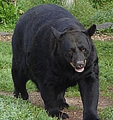 Big Black Bear